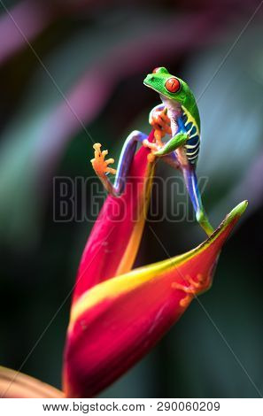 Red-eyed Tree Frog (agalychnis Callidryas) Clinging On To A Heliconia Flower. Costa Rica.