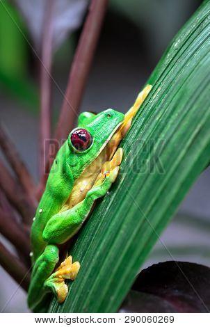 Gliding Tree Frog (agalychnis Spurrelli) Resting On A Leaf In Costa Rica.