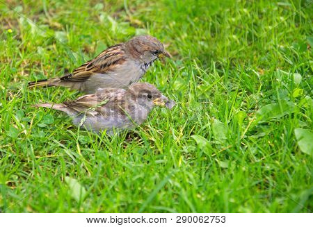 Pair Of A Sparrows On Green Grass
