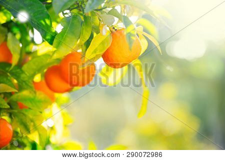 Ripe oranges or tangerines hanging on a tree. Beautiful Healthy organic juicy orange growing in Sunny Orchard. Organic citrus fruits in a Mediterranean garden