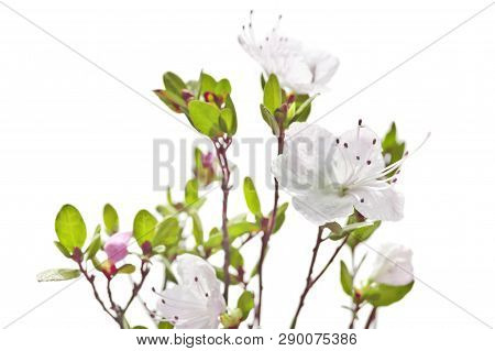 Rhododendron White Pink Flowers Isolated On White Background.purple Rhododendron Is Blooming. Heathe