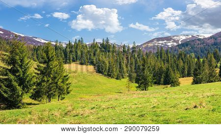 Beautiful Springtime Landscape In Mountains. Spruce Forest On The Grassy Hills. Spots Of Snow On The