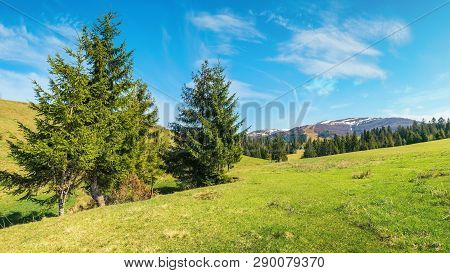 Beautiful Springtime Landscape In Mountains. Spruce Trees On The Grassy Meadow. Spots Of Snow On The