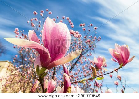 Magnolia Tree In Blossom. Beautiful Purple Flower Close Up. Background With Blue Sky And Clouds. Win