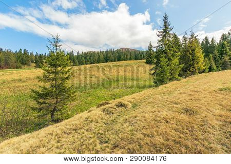 Beautiful Springtime Landscape In Mountains. Spruce Trees On The Slope In Weathered Grass. Sunny Wea