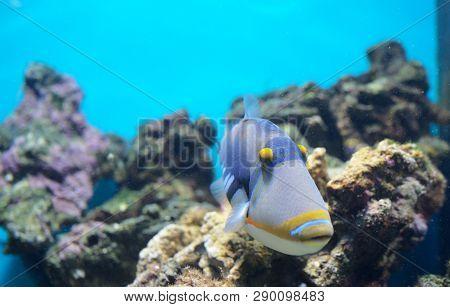 Lagoon Triggerfish Coral Reef Clown Triggerfish In Aquarium