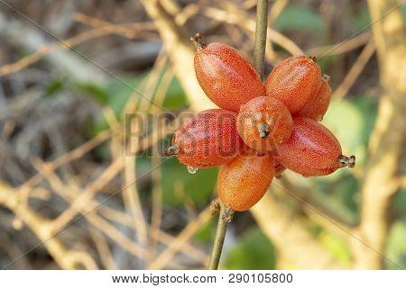 Thai Wild Olive Riped,  Ready To Eat, Sweet,  Scientific Name Is (elaeagnus Latifolia Linn.)