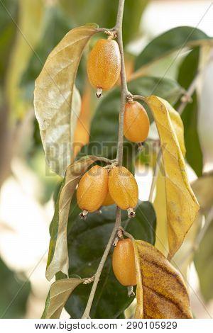 Thai Wild Olive Half Riped, Not Ready To Eat, Bitter,  Scientific Name Is (elaeagnus Latifolia Linn.