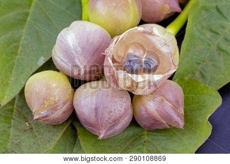 Flower Of Thai Convolvulaceae - Scientific Name Is (merrernia. Umbellata Haller F.)