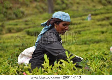 Munnar, India - March 16, 2018: Indian Woman Picks Tea On Plantation Near Munnar In Kerala, India
