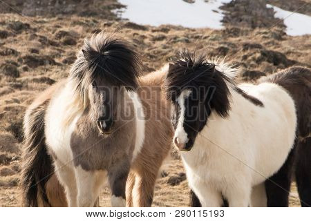 poster of Horses in the mountains in Iceland.Icelandic horses. The Icelandic horse is a breed of horse developed in Iceland