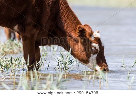 Cows At A Watering Place Drink Water And Bathe During Strong Heat And Drought. Kalmykia Region, Russ