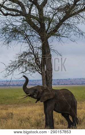 Eelephant leaning against tree and scratching himself. Trunk held high and ivory tusks showing. Green grass and blue sky in background. Tarangire National Park, Tanzania, Africa poster
