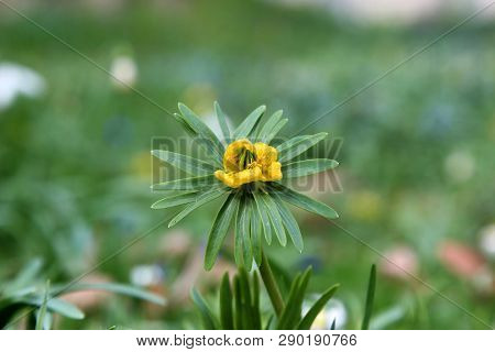 Eranthis hyemalis is a plant found in Europe. poster