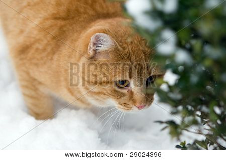 Orange cat on the snow sneaking behind a bush poster