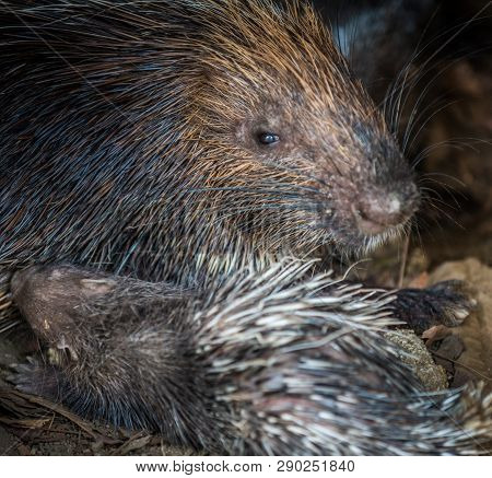 Baby Porcupine Nursing Of It's Mother's Breast Close-up