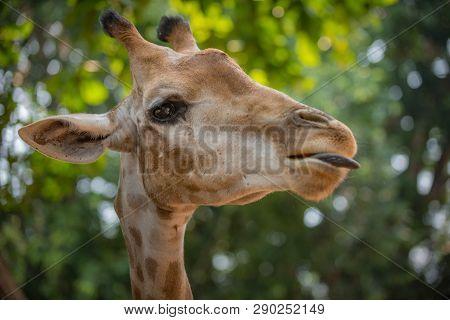 Giraffe's Head Profile