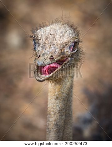 Common Ostrich Struthio Camelus With It's Beak Open And Visible Exposed Inside Of It's Throat.