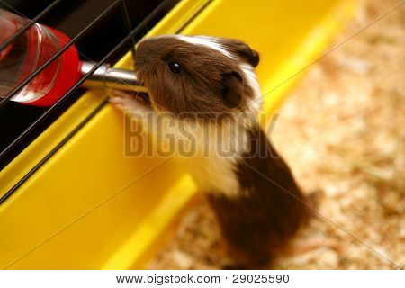 Guinea pig in cage drinking water