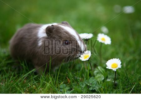 Young guinea pig smelling daisy