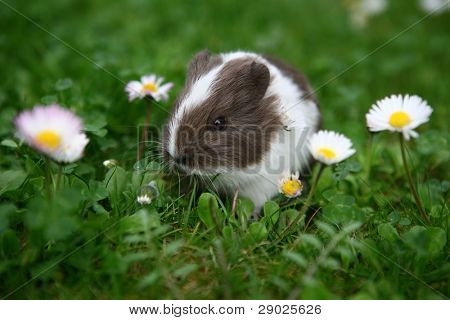 Young guinea pig between daisies poster