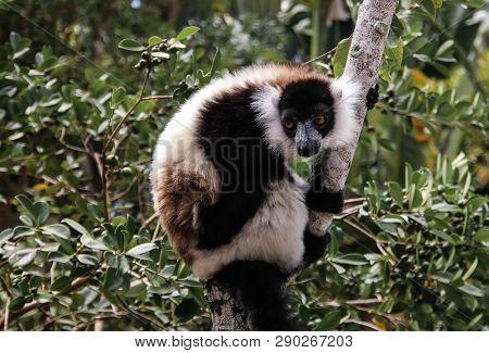 Portrait Of Black-and-white Ruffed Lemur Aka Varecia Variegata Or Vari Lemur At The Tree In Atsinana