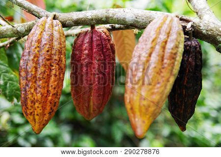 Cacao Tree Theobroma cacao. Organic cocoa fruit pods in nature