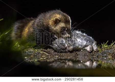 European polecat (Mustela putorius) with young wild rabbit  (Oryctolagus cuniculus) prey. Under natural nocturnal circumstances. poster