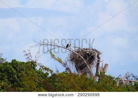 A Bird Of Prey With His Baby In The Nest In A Caribbean Island, Sandy Cay, Exumas, Bahamas