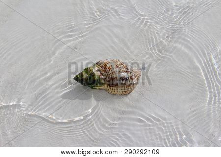 Shell In A Beach Of A Caribbean Island, Sandy Cay, Exumas, Bahamas