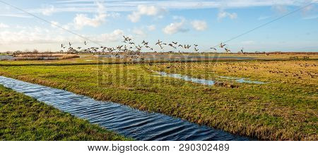 Many Geese Forage In The Zonzeelse Polder Near The Village Of Wagenberg, Noord-brabant, The Netherla