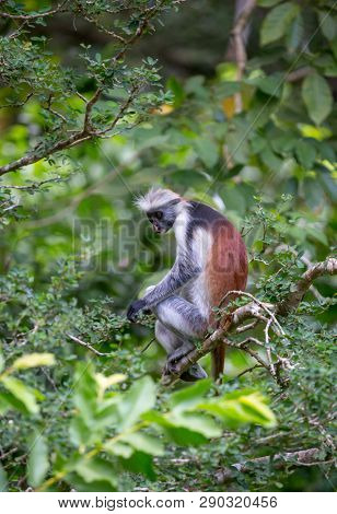 Funny monkey Red Colobus on green tree in forest