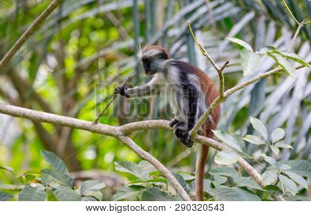 funny monkey on tree in forest, Red Colobus in Zanzibar