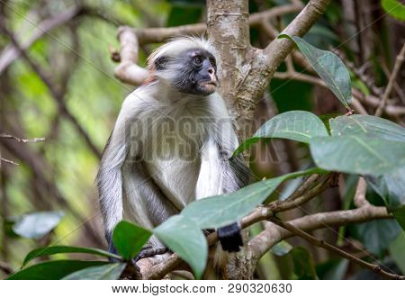 Funny Red Colobus monkey, forest in Zanzibar