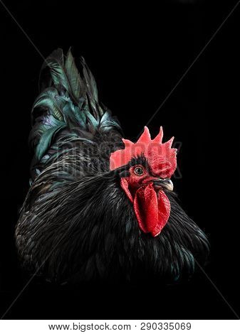 Black Rooster Australorp (gallus Gallus) With Dark Green Plumage On Black Background