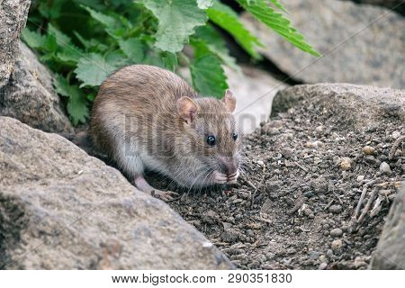 Brown Rat Sitting On A Stones With Green Nettle In Background. Wild Street Or Sewer Rat (rattus Norv