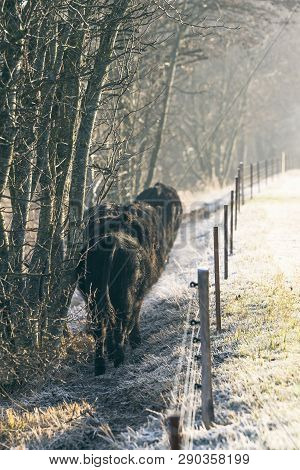 Cattle Walking Along An Electric Fence On A Frosty Morning In The Winter