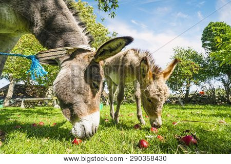 Two Donkeys Eating Red Apples In An Idyllic Garden In The Summer