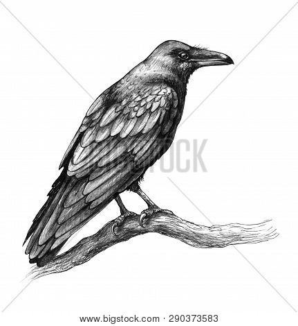 Hand Drawn Crow Isolated On White Background. Black Bird Sitting On Tree Branch. Raven With Big Beak