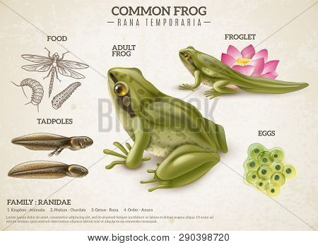 Frog Life Style Retro Biology Science Educative Poster With Adult Animal Eggs Mass Tadpoles Froglets