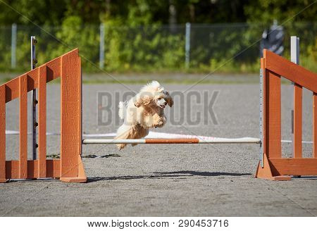 Poodle Jumping Over A Hurdle At Dog Agility Training. Big Fur Blowing In Wind. Action And Sports In