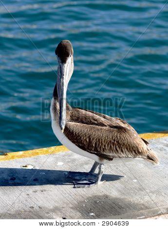 Brown Pelican, Head On.