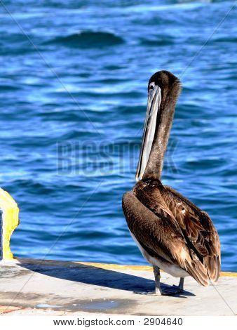 Shy Pelican