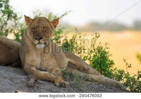 Beautifully Relaxed African Lioness Resting On A Large Boulder With The Dry Yellow Parched Plain In