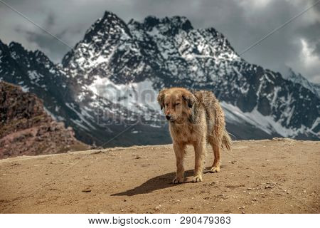 Fluffy Dog In High Altitude Mountain Range In Peru