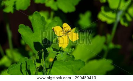 Flower Of Greater Celandine Or Tetterwort, Chelidonium Majus, Macro, Selective Focus, Shallow Dof