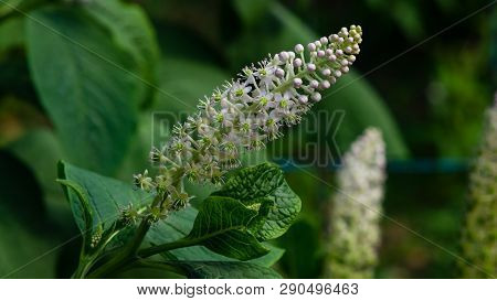 Indian poke or Phytolacca acinosa blossom close-up at flowerbed, selective focus, shallow DOF poster