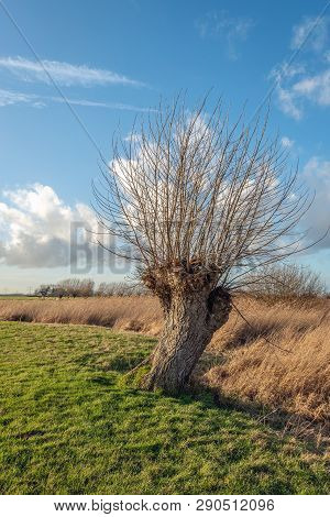 Pollard Willow Tree With Leafless Branches At The Edge Of Green Grass And Yellowed Dry Reed Plants I