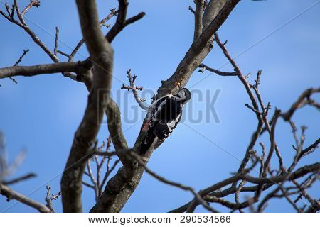 Woodpecker peeks into the bark of a walnut and holds in his beak grub poster