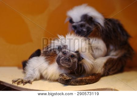 Little Monkeys - Oedipus Tamarin Comb Each Other. Unusual Cute Animals